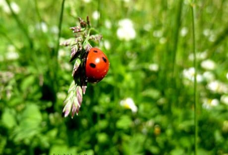 green grass, nature, beetle, insect, ladybug, arthropod, bug, garden