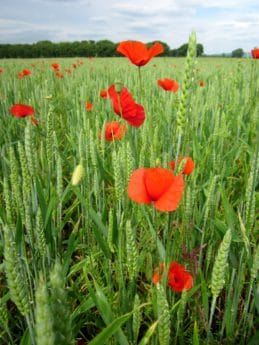 poppy, flower, flora, summer, agriculture, field, grass, nature