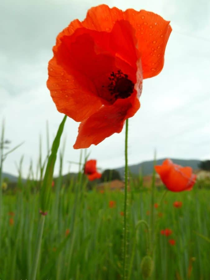 summer, flora, opium, flower, nature, field, poppy, bloom