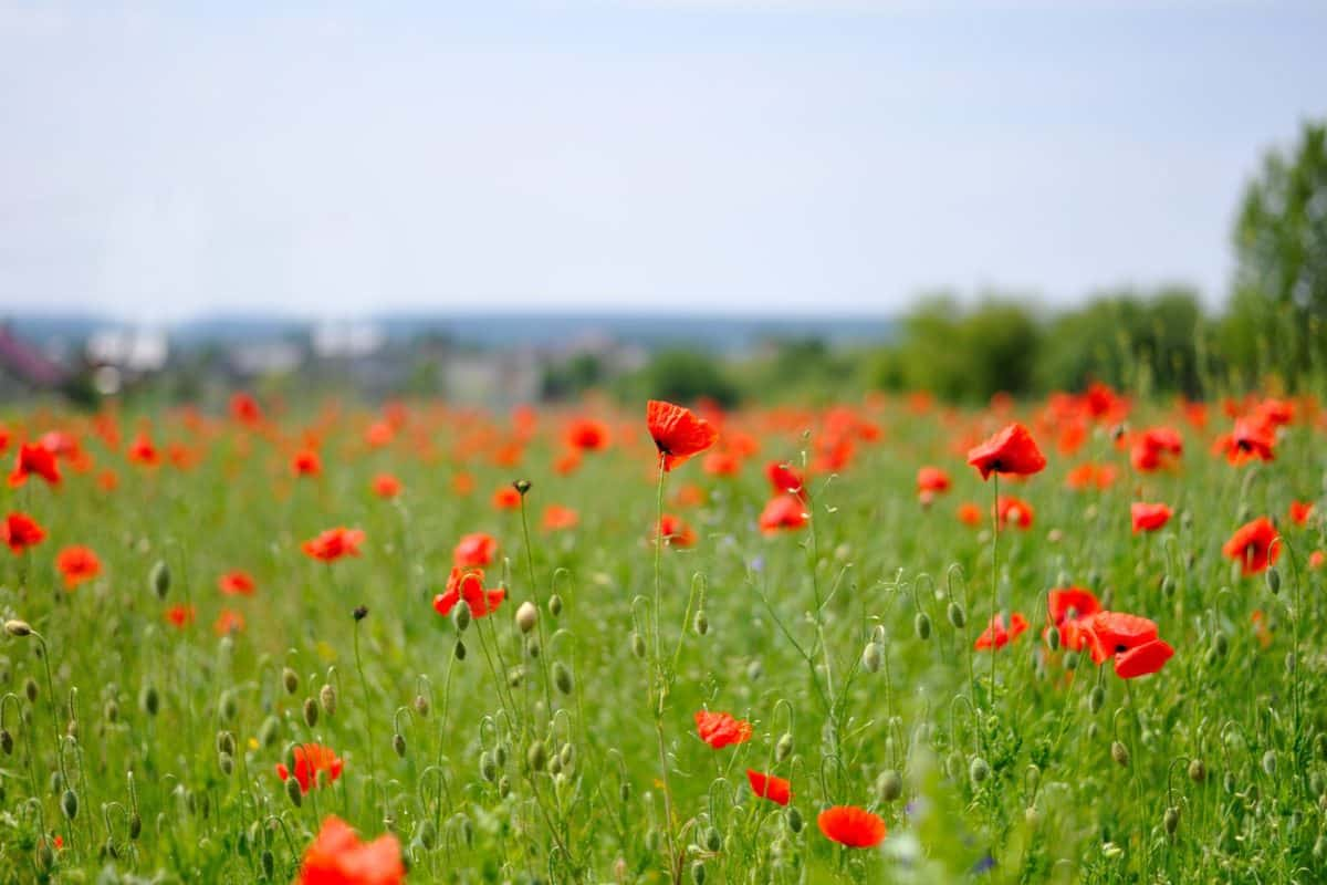 flower, nature, countryside, flora, poppy, summer, grass, field