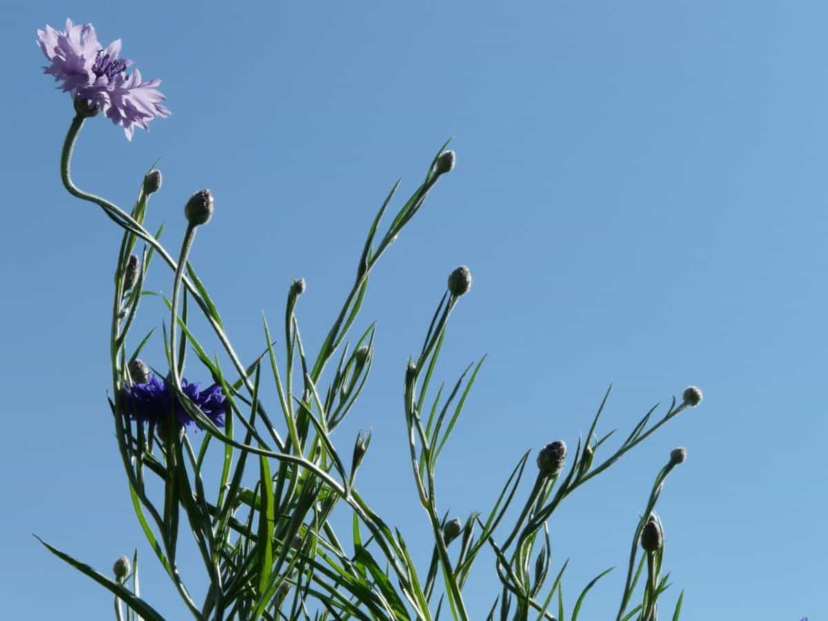 field, nature, summer, grass, flower, flora, blue sky, chicory