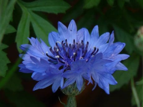 leaf, summer, flower, flora, garden, nature, chicory, herb