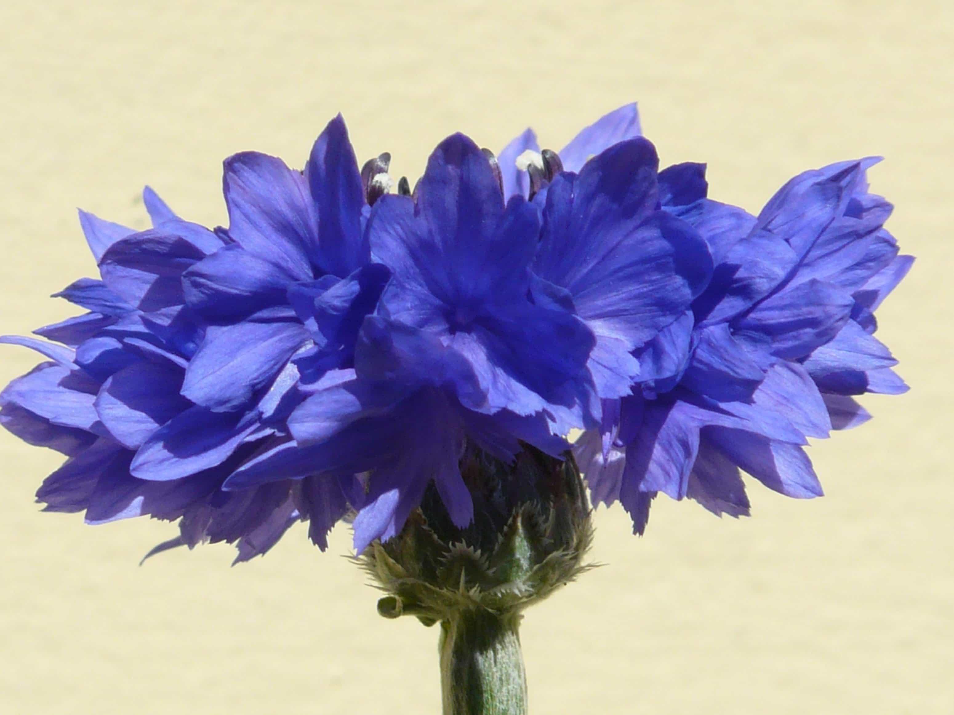 Kostenlose Bild Sommer Blume Chicorée Flora Natur Schön