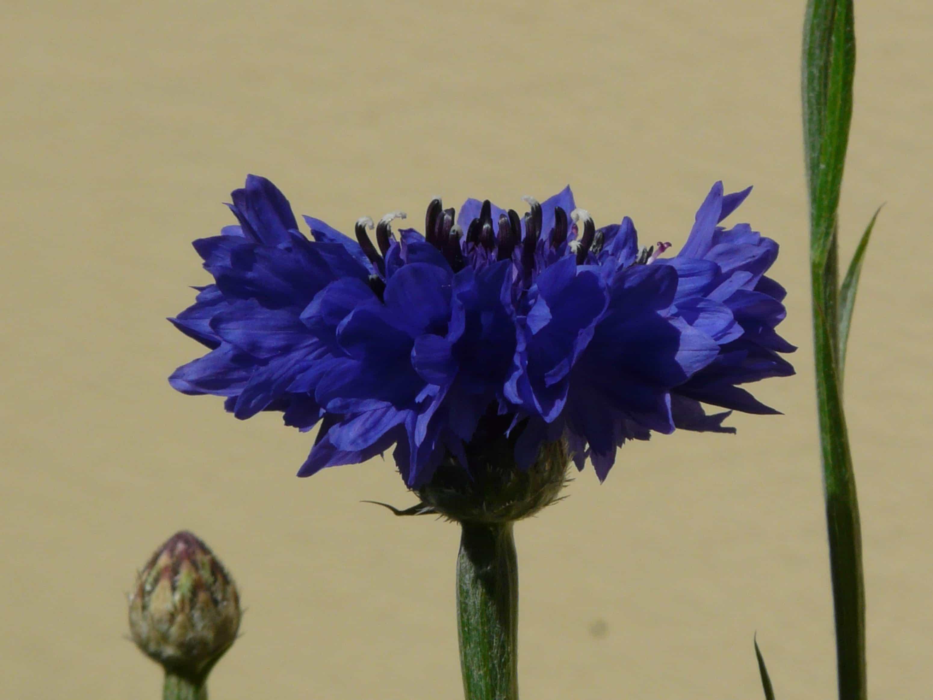 Kostenlose Bild Chicorée Nektar Natur Blume Sommer Pflanzen