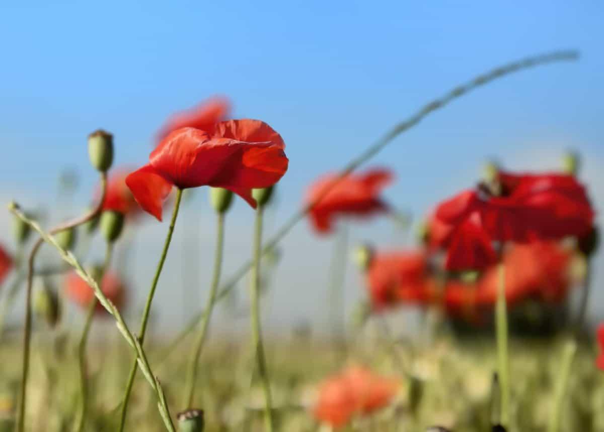 field, summer, flora, garden, nature, grass, flower, poppy