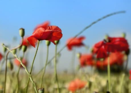 field, summer, flora, garden, nature, grass, flower, poppy
