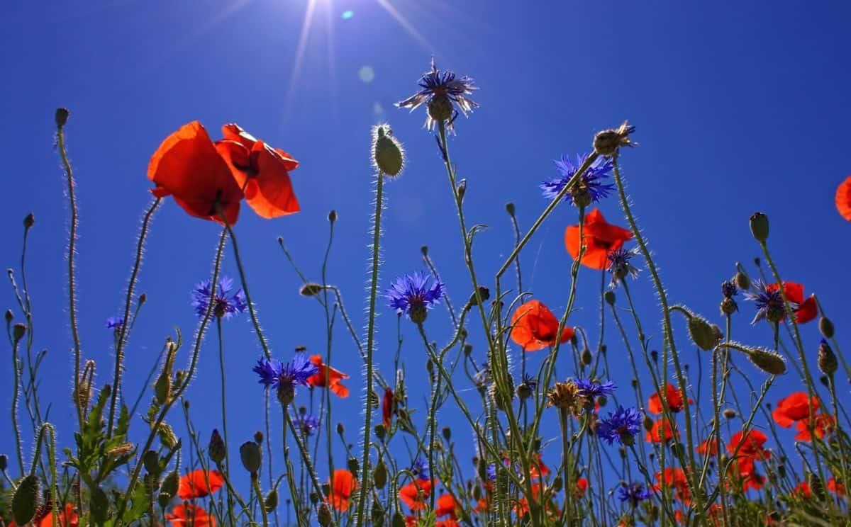 flora, field, flower, wild, nature, poppy, sky, berry