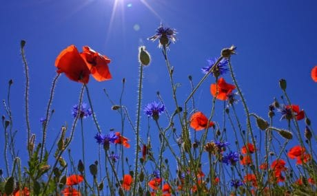flora, field, flower, wild, nature, poppy, sky, berry