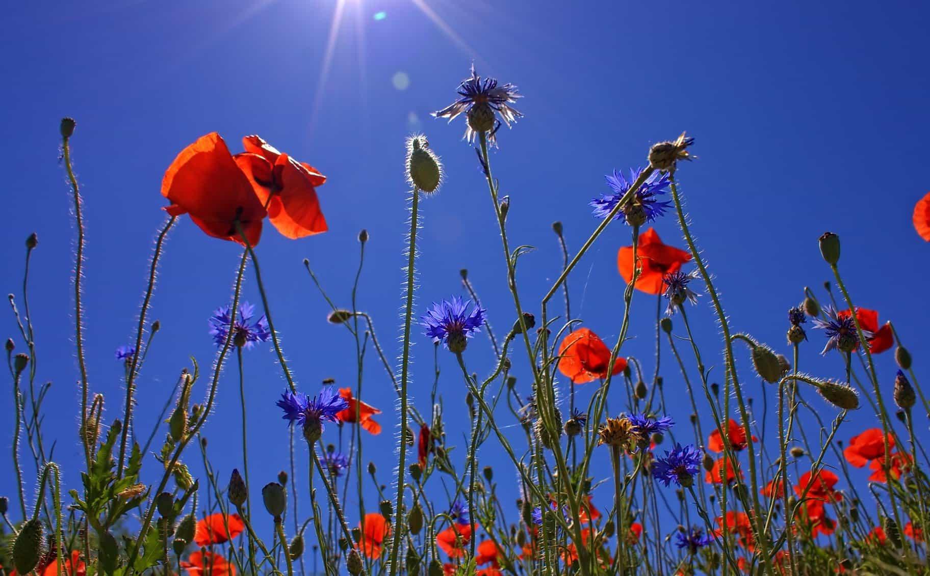 Image Libre Flore Champ Fleur Nature Nature Pavot Ciel Berry