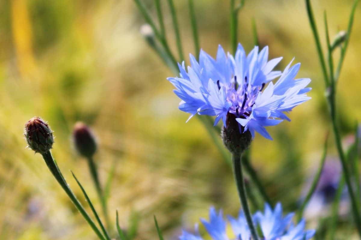 nature, garden, flora, green grass, wildflower, field, macro, summer, chicory