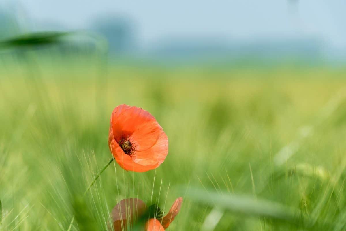 field, flora, summer, flower, grass, nature, poppy, meadow