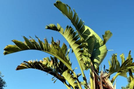 blue sky, flora, tree, nature, green leaf, plant, palm tree