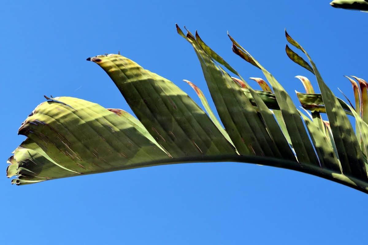 feuille de Gree, ciel bleu, arbre, plante, palmier