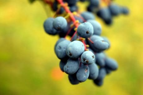 fruits, nature, macro, bleu, herbe, branche, feuille, berry
