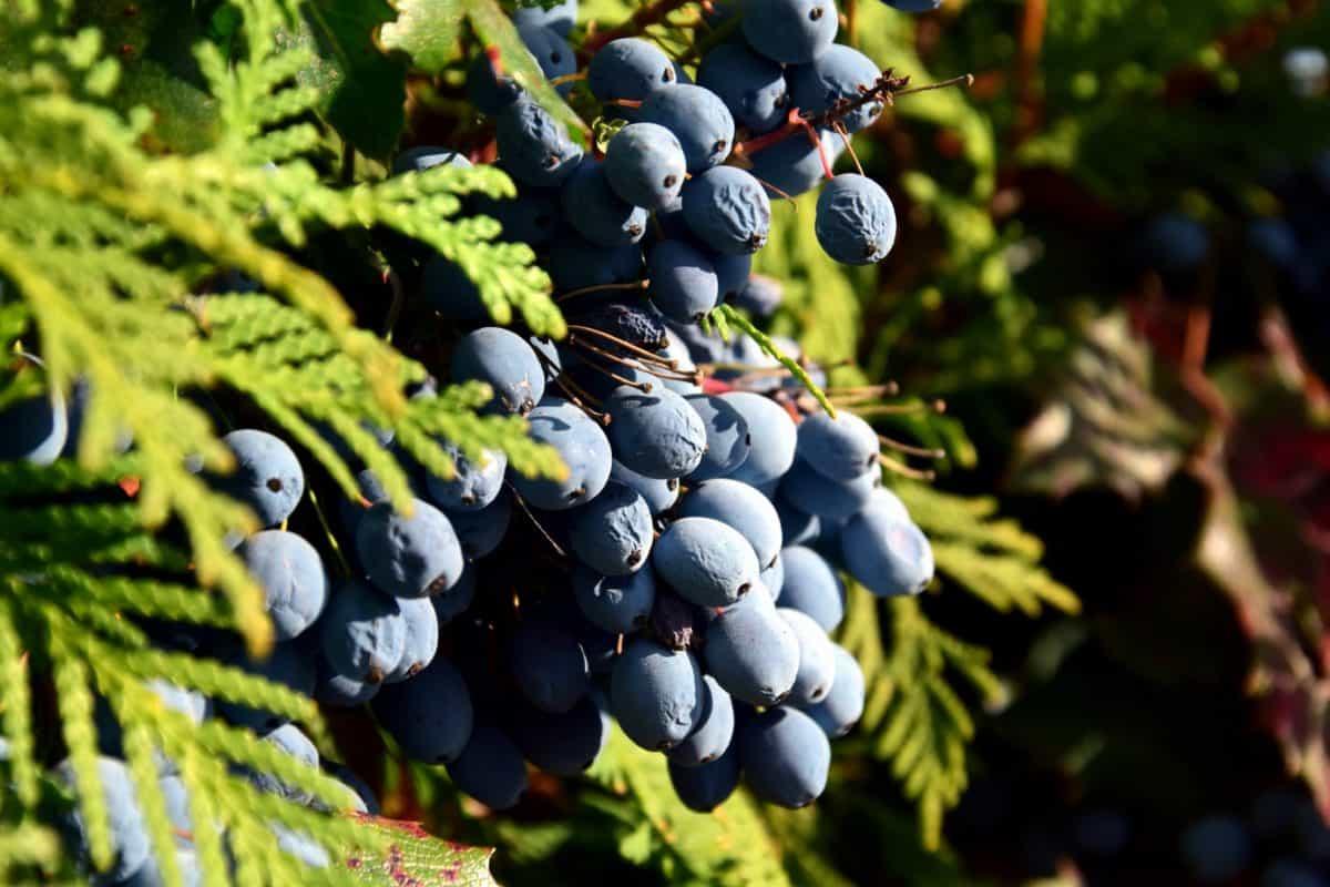 nature, blackberry, branch, fruit, tree, leaf, berry, daylight