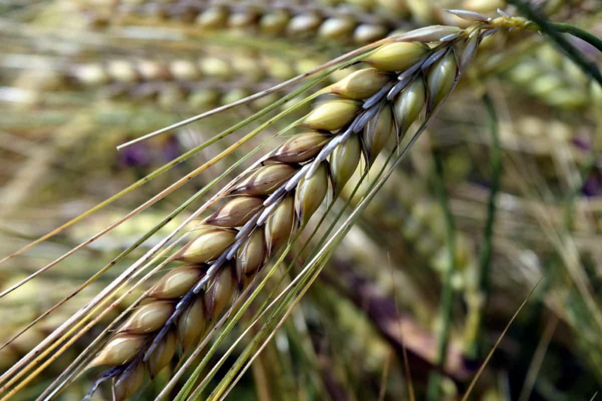Saatgut, Getreide, Landwirtschaft, Stroh, Feld, Pflanze, Sommer