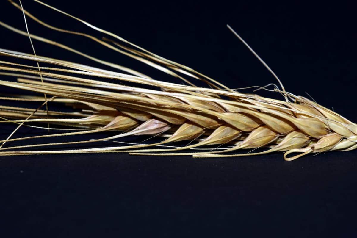 macro, dark, detail, flour, agriculture, straw