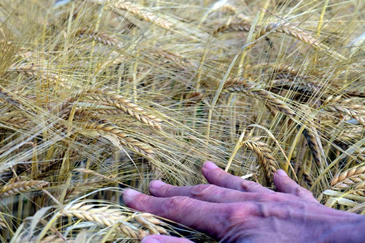 cereal, food, agriculture, field, nature, straw, grass, hand