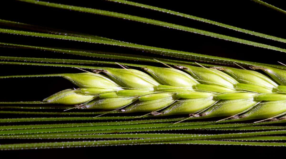 flora, food, summer, grain, plant, macro, detaill, agriculture, grain