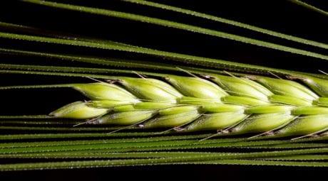 flora, alimentos, verano, grano, planta, macro, las ilustraciónes, agricultura, grano
