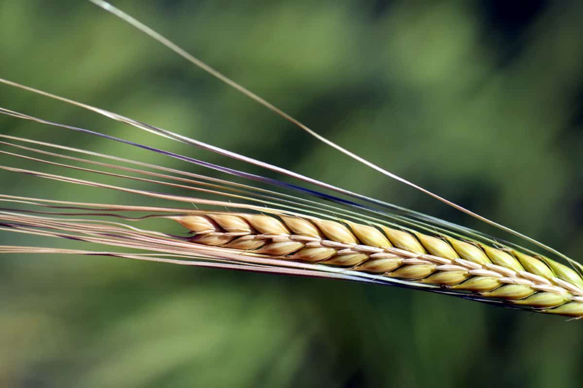 food, summer, grain, plant, agriculture, grain, daylight, outdoor, macro