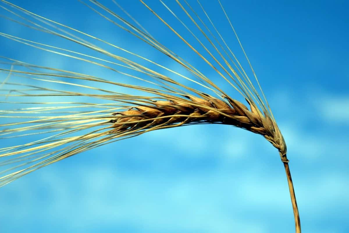 cereales, semillas, paja, plantas, agricultura, cebada, cielo azul