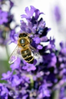 pollen, natur, bee, honungsbinas, pollinering, blomma, insekt, sommar