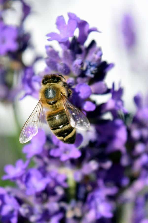 serbuk sari, alam, lebah, lebah madu, penyerbukan, bunga, serangga, musim panas
