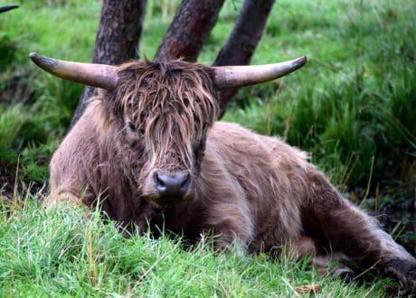 animal, nature, grass, bull, cattle, wildlife