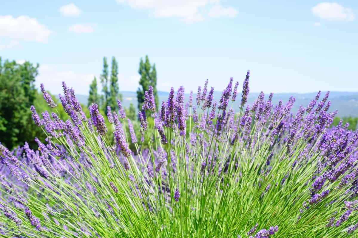 flora, field, countryside, nature, flower, summer, lavender