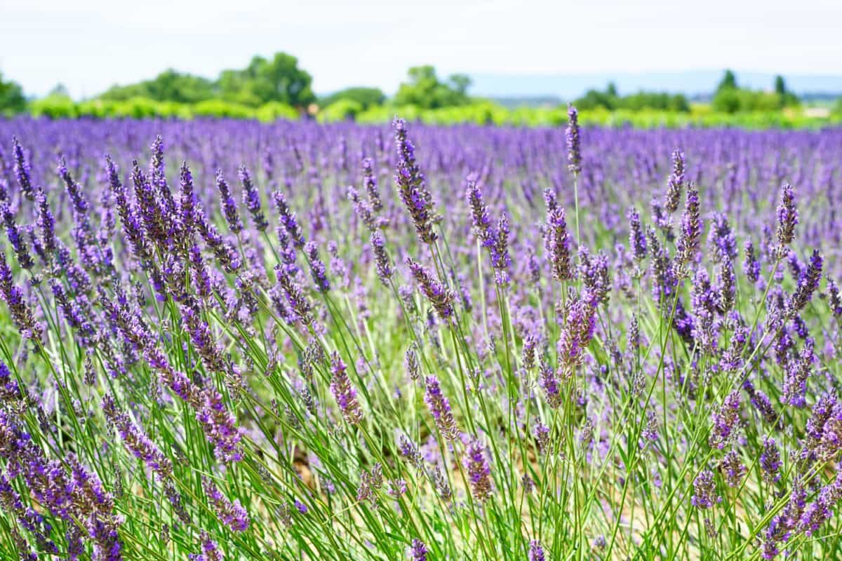 lavender, flower, countryside, agriculture, herb, flora, summer, field, nature