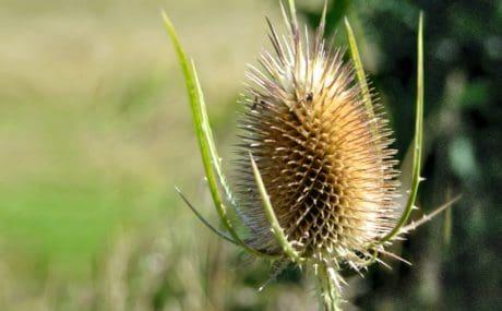 summer, nature, flora, herb, plant, grass, thistle, macro, daylight