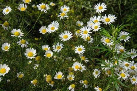 flower, nature, summer, field, chamomile, garden, flora, grass