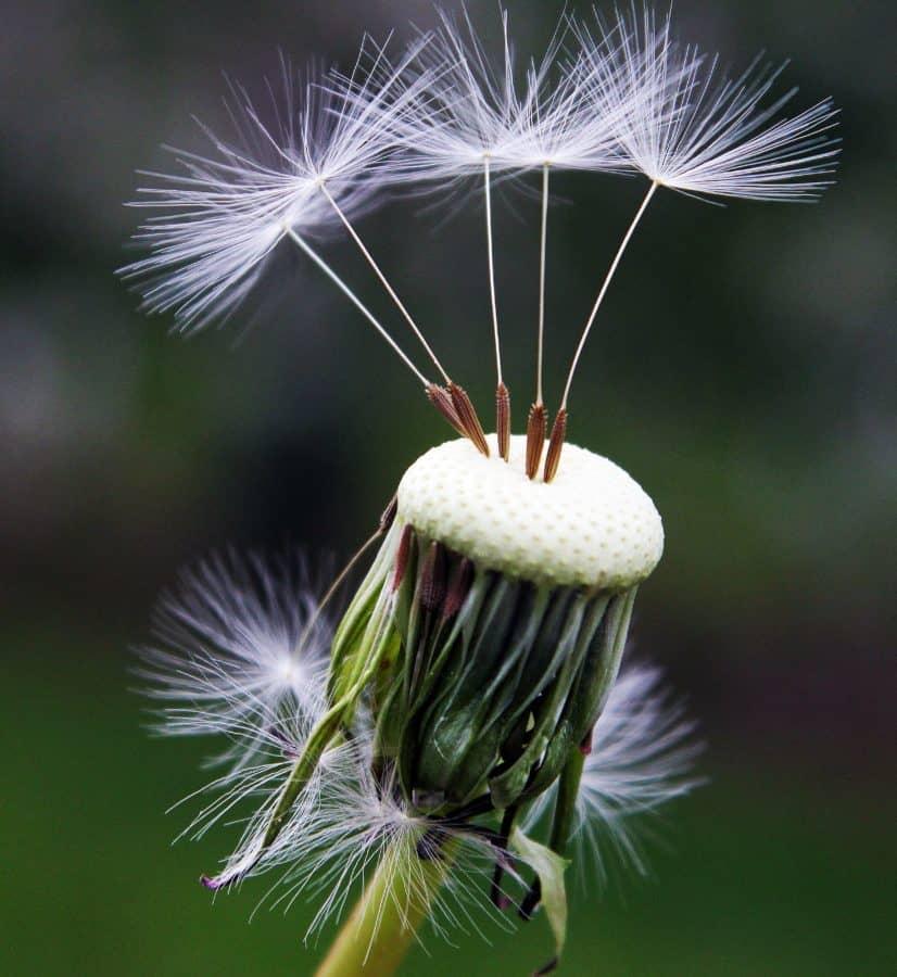nature, summer, flora, dandelion, seed, macro, daylight, plant