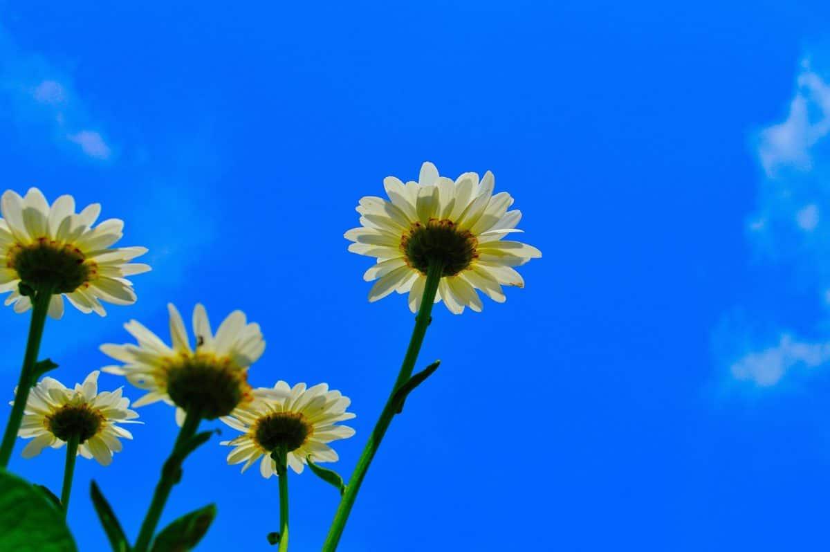 natur, sommer, wildflower, blå himmel, flora, solsikke, plante, felt, urt