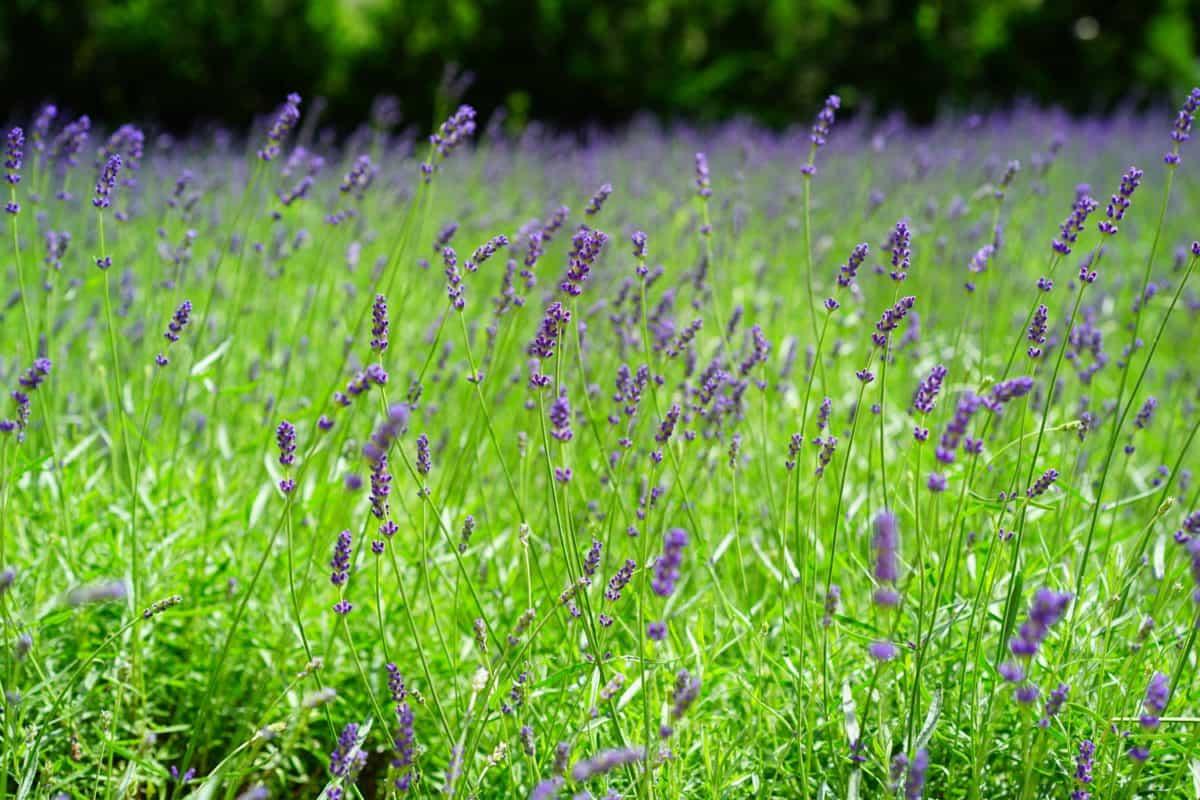 summer, nature, field, flora, grass, flower, lavender, plant