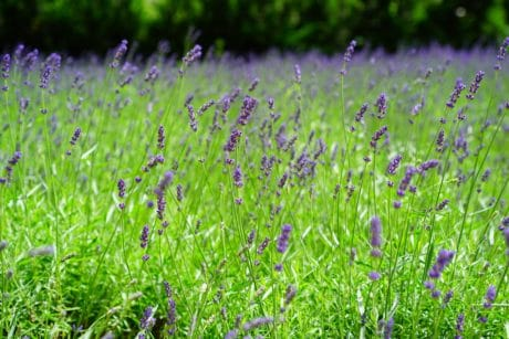 summer, nature, field, flora, grass, flower, lavender, plant