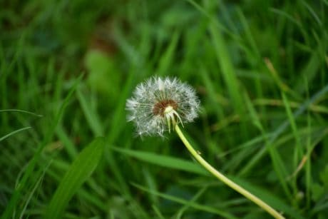 flora, summer, grass, nature, field, herb, dandelion, plant