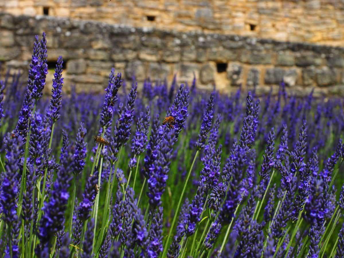 flower, flora, nature, field, summer, lavender, plant, garden