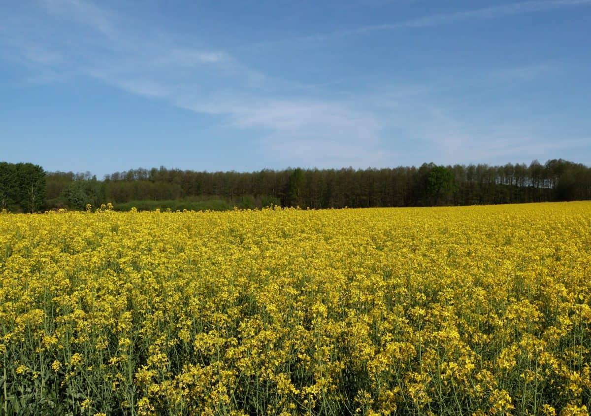 landskap, fält, jordbruk, oljeväxter, utsäde, dagsljus, blå himmel, Utomhus