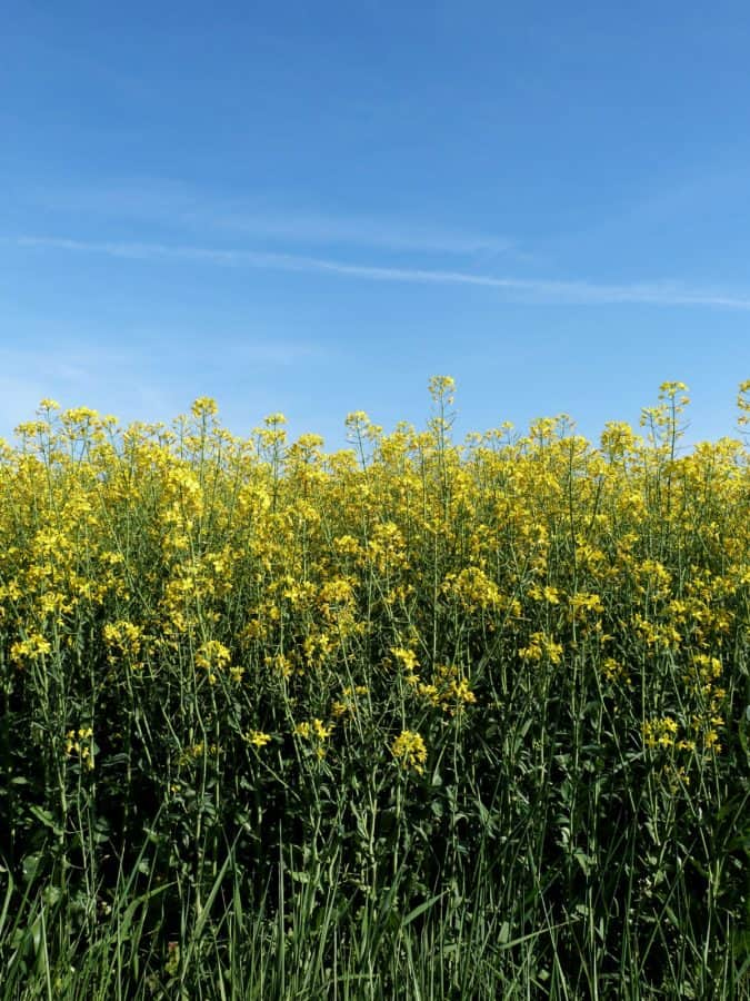 field, nature, agriculture, sky, summer, herb, rapeseed, oilseed