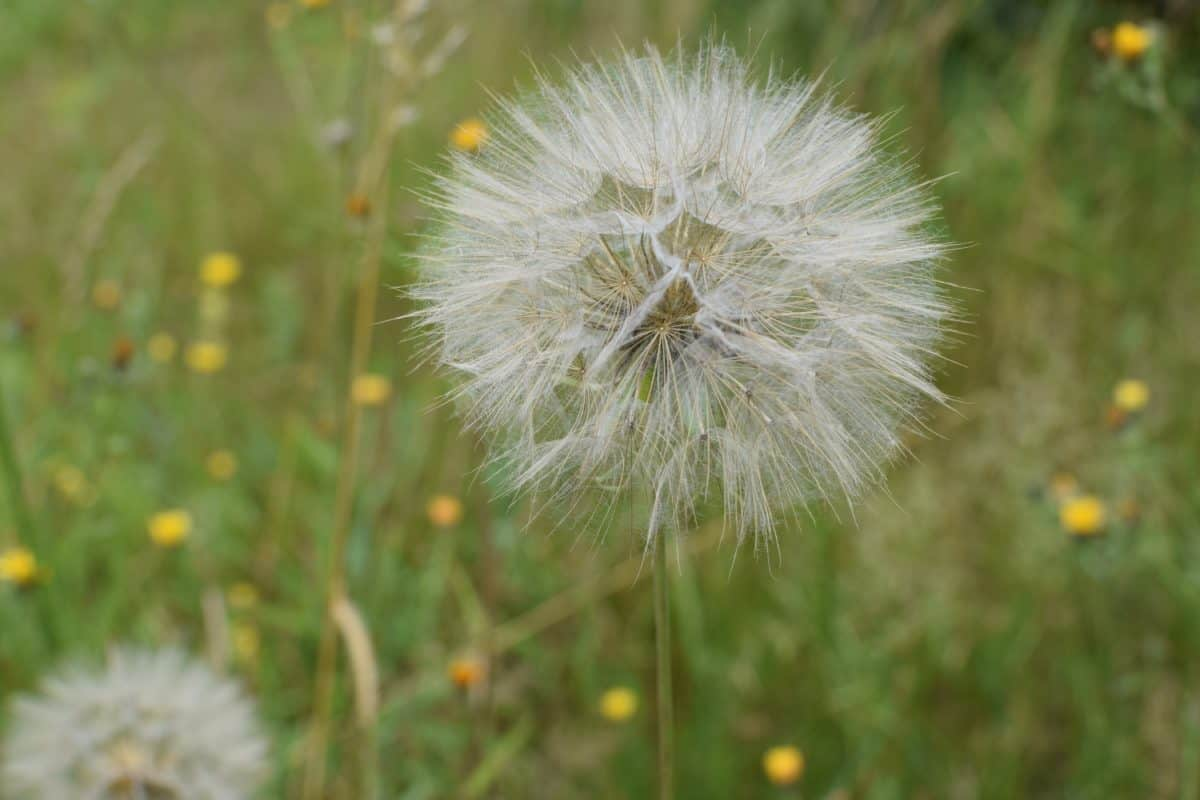 nature, flora, flower, seed, field, grass, dandelion, summer