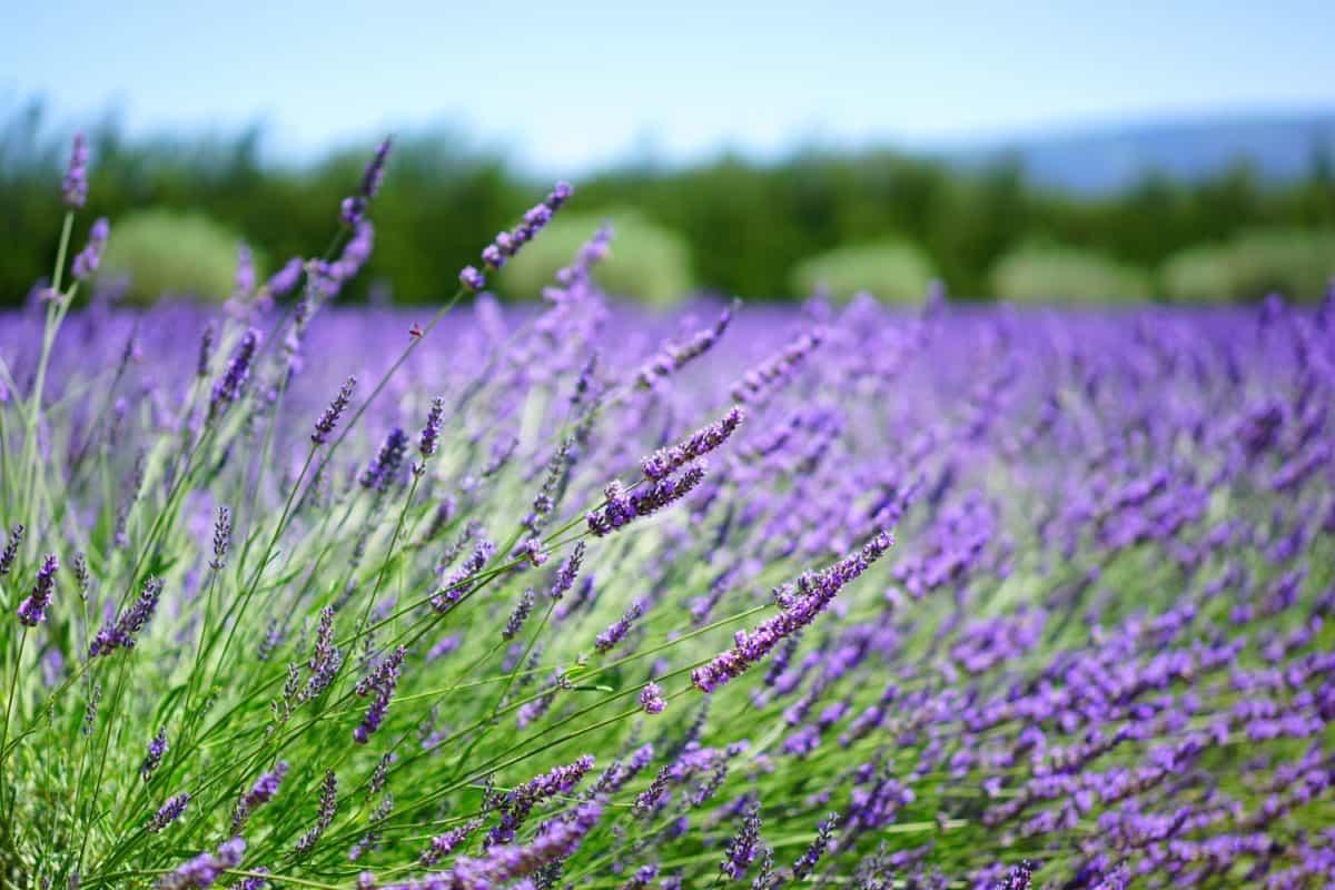 lavender, daylight, herb, flower, nature, field, summer, countryside, flora