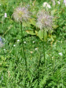λουλούδι, γρασίδι, καλοκαίρι, φύση, φύλλα, χλωρίδα, πεδίο, βότανο, φυτό
