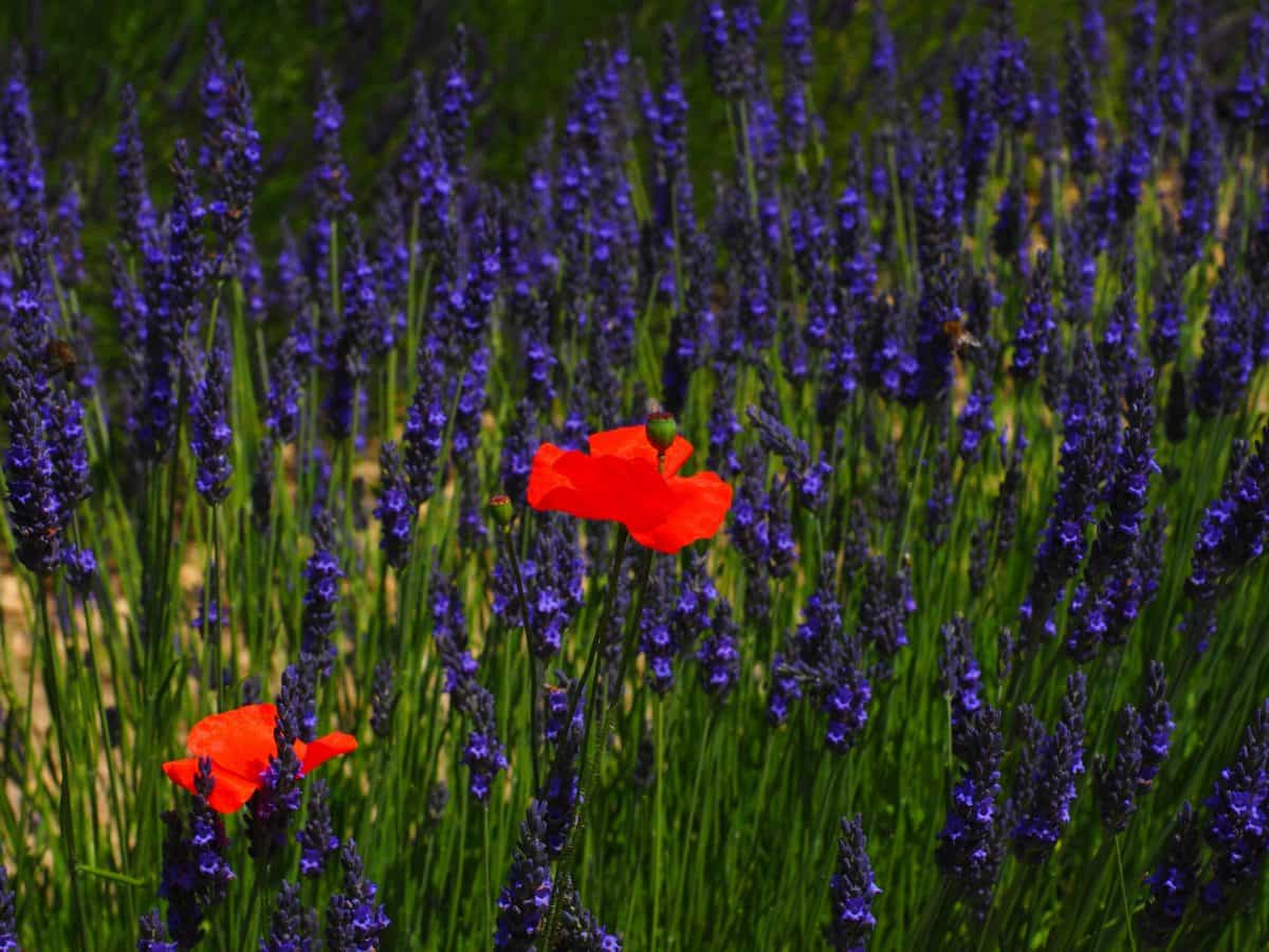 blomst, natur, felt, lavendel, plante, haven, urter, wildflower