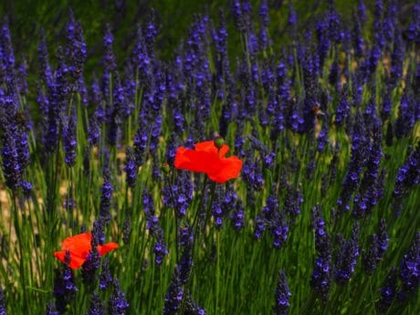 flower, nature, field, lavender, plant, garden, herb, wildflower