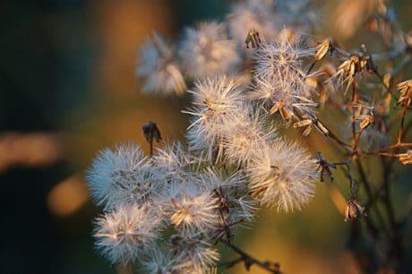 Flora, Blume, Natur, Pflanze, Distel, trocken, Tageslicht