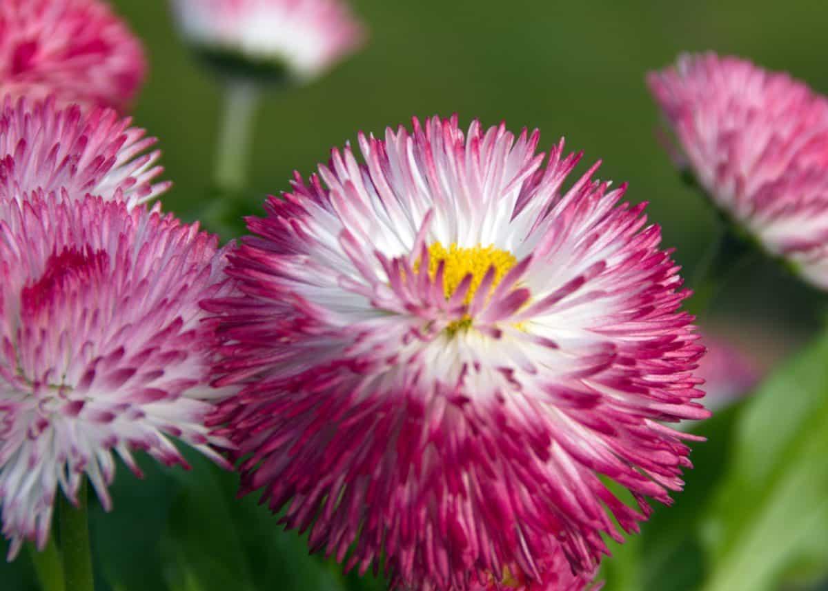 ljeto, latica, list, makronaredbe, wildflower, vrt, priroda, roza