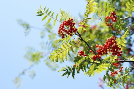 nature, tree, berry, flora, branch, leaf, summer, plant, leaves