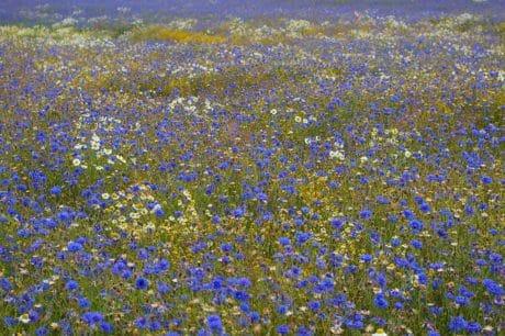 Verão, flora, campo, paisagem, campos de gramíneas, flores, natureza